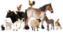 Hospodárske zvieratá